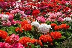 Boquete: Kahvi ja kukka-festivaali.